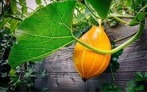 Pumpkin growing in a raised bed